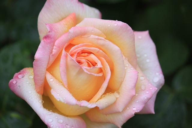 maggio mese della rosa