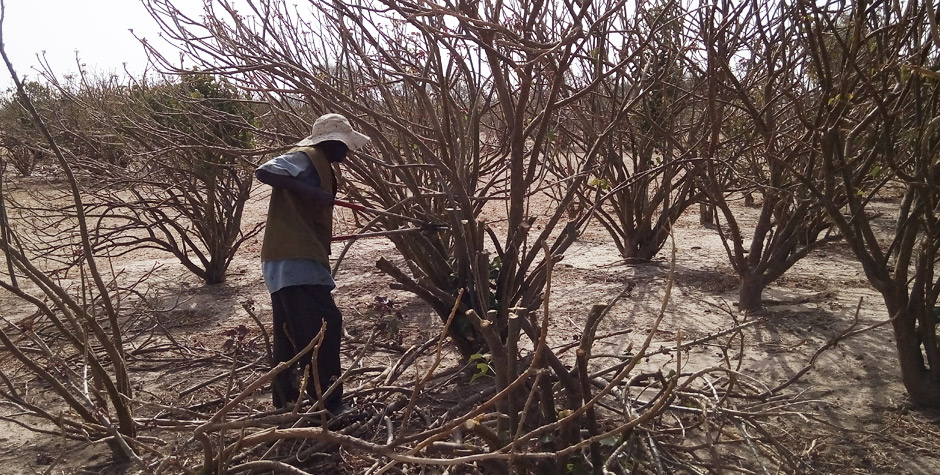 piantagione jatropha curcas lavoro