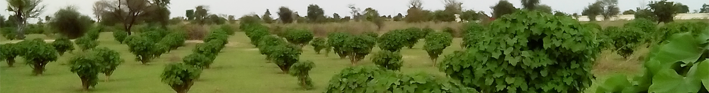 piantagione jatropha