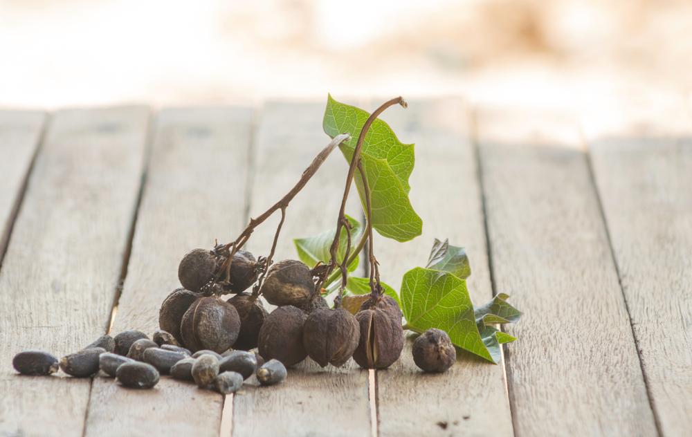 pianta con olio di jatropha curcas